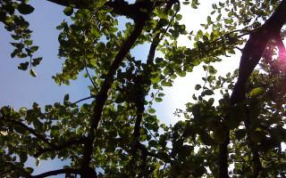 TrädkronaSol
